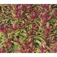 Hebe Purple Shamrock 2lt