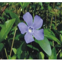 Vinca Minor - Periwinkle