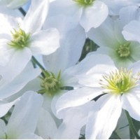 Clematis Avalanche 3lt