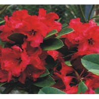 Rhododendron Red Jack