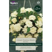 Begonia White Giant Flowering Pendula