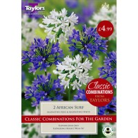 Agapanthus African Surf