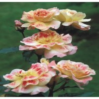 Champagne Cocktail - Floribunda Rose