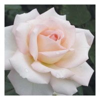 Bloom Of Ruth - Hybrid Tea Rose