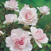 City Of London - Floribunda Rose