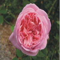 Amazing Grace - Floribunda Rose