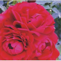Faithful - Floribunda Rose