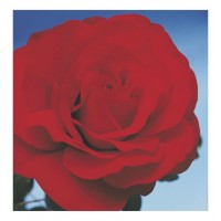 Godstowe Girl - Hybrid Tea Rose