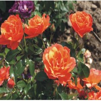 Fellowship - Floribunda Rose