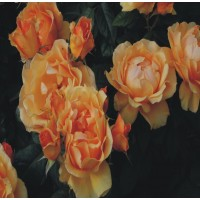 Easy Going - Floribunda Rose