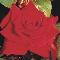 National Trust - Hybrid Tea Rose