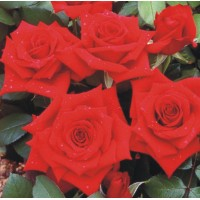 Pride Of England - Hybrid Tea Rose