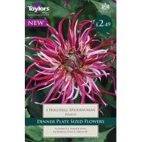 DAHLIA HOLLYHILL SPIDERWOMAN