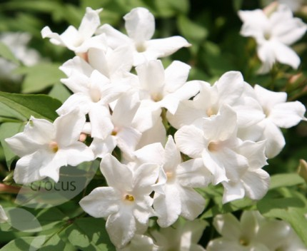 JASMINUM OFFICINALE 3' 3LT