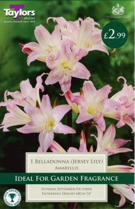 AMARYLLIS BELLADONNA 18UP