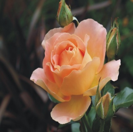 Alpine Sunset - Hybrid Tea Rose