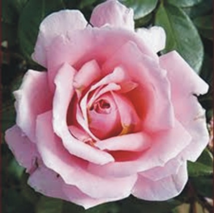 English Princess - Floribunda Rose