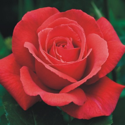 Fragrant Cloud - Hybrid Tea Rose