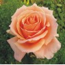 Just Joey - Hybrid Tea Rose